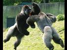 http://www.noelshack.com/2016-22-1464980330-combat-gorilles.jpg