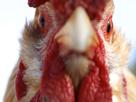 http://image.noelshack.com/fichiers/2016/51/1482238188-poulet-poule-coq-kfc.jpg