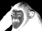 https://image.noelshack.com/fichiers/2017/19/1494621198-creepymonkey.png