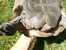 Id et sexage d'une tortue turque  1496842929-img-20170607-151215