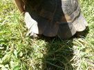 Id et sexage d'une tortue turque  1496842938-img-20170607-151206
