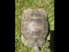 Id et sexage d'une tortue turque  1496842939-img-20170607-151054