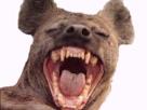 https://image.noelshack.com/minis/2017/25/1/1497885354-hyene-5.png