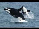 http://www.noelshack.com/2017-34-7-1503817999-290px-killerwhales-jumping.jpg