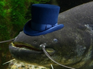 http://image.noelshack.com/fichiers/2017/42/4/1508416956-silure-gentleman.jpg