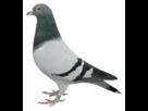 http://www.noelshack.com/2018-14-3-1522805434-pigeon.png