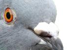 https://image.noelshack.com/fichiers/2018/24/6/1529173998-pigeon2.png