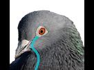http://image.noelshack.com/fichiers/2018/27/7/1531085164-pigeon-pleure.png