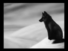 https://image.noelshack.com/minis/2018/35/7/1535909524-loup-noir-seul.png