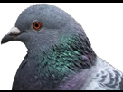 https://image.noelshack.com/fichiers/2018/51/5/1545429101-pigeon.png