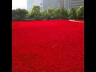 http://www.noelshack.com/2019-15-7-1555261556-bodhi-l-herbe-rouge-graines-500pcs-l-herbe-graines.jpg