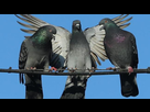 http://www.noelshack.com/2019-20-3-1557914540-pigeon-mentality-could-help-humans-switch-between-tasks-scientists-say-136406725444103901-160610141003.jpg