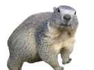 https://image.noelshack.com/fichiers/2019/23/7/1560102337-marmota-marmota-alpes2.png