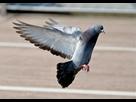 http://www.noelshack.com/2019-24-3-1560322286-pigeon-630x443.jpg