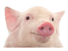 https://image.noelshack.com/fichiers/2019/28/3/1562739071-cochon-1.png
