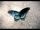 1568233377-blue-and-black-butterfly-convertimage.jpg - envoi d'image avec NoelShack