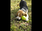 http://www.noelshack.com/2019-45-6-1573333836-moody-bebe-chiot-beagle-balle.jpg
