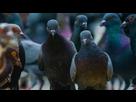 https://image.noelshack.com/fichiers/2020/32/2/1596499399-pigeons12-293e5d-0-1x.jpeg