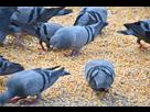 https://www.noelshack.com/2020-46-4-1605198870-pigeons-mangeant-des-graines-contraceptives-ornisteril-copyright-le-mouvement-pour-les-animaux.jpg