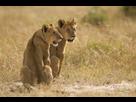 https://www.noelshack.com/2020-47-4-1605815739-lionnes-assises-champ-recouvert-herbe-au-milieu-jungle-181624-6083.jpg
