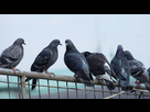 https://www.noelshack.com/2020-47-6-1605980362-https-cdn-cnn-com-cnnnext-dam-assets-191114024948-01-pigeons-file.jpg