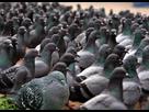 https://www.noelshack.com/2021-03-4-1611232202-pigeonsonpilgrimhill-1.jpg