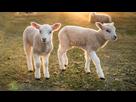 https://www.noelshack.com/2021-22-1-1622481439-moutons-1024x589.jpg