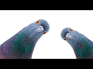 https://www.noelshack.com/2021-27-1-1625520009-anti-pigeon-shutterstock-1277215624-ban-645x338.jpg
